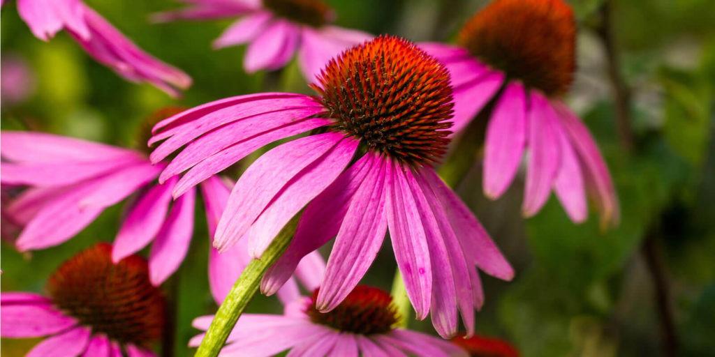 fiori di echinacea immunostimolanti naturali